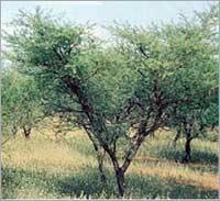 Acacia Senegal