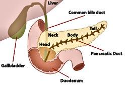 human-anatomy-pancreas