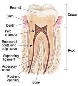 human-anatomy-teeth