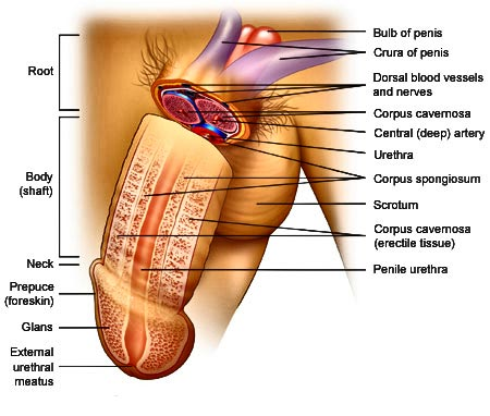 Human Anatomy Penis Healthy Lifestyle
