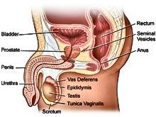 human-anatomy-prostate