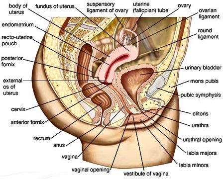 human-anatomy-vagina