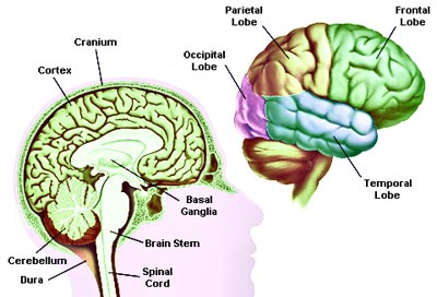 human-anatomy-brain