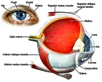 human-anatomy-eyes