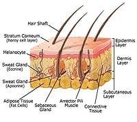 human-anatomy-skin