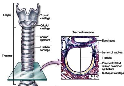 human-anatomy-trachea